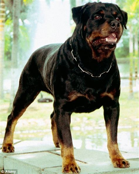 rottweiler meaning the cuddly rottweilers losing their streak daily mail
