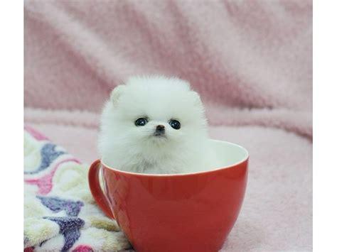 pomeranian what s about em where can i find a teacup pomeranian goldenacresdogs