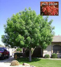 shade tree for small backyard sissoo tree very fast growing shade tree grows between 30 50 feet x 30 feet