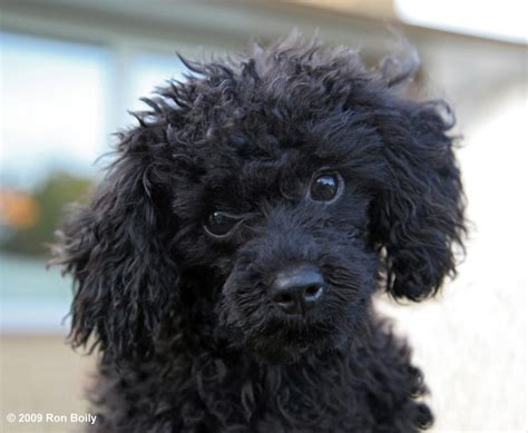 toy poodle by pincollector1 photo weather underground