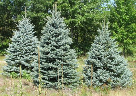 wholesale christmas tree photos holiday trees inc
