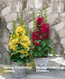 Garden Containers For Sale - stockrose spring celebrities kaufen bakker com
