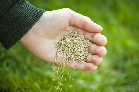 Grass Seeds by What Is Green Grass Seed With Picture