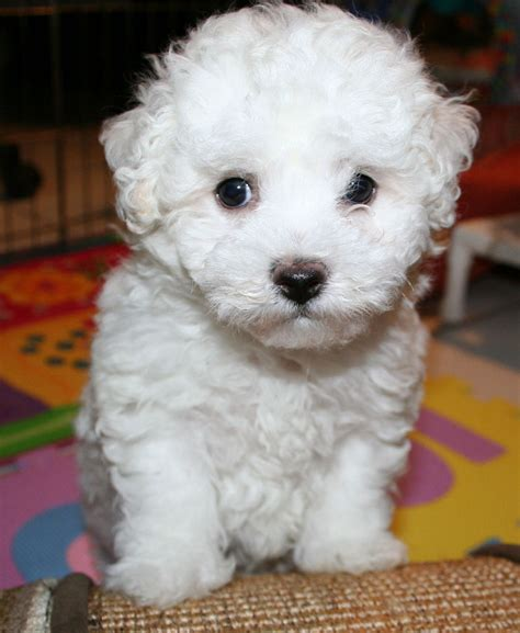 bichon frise puppies for adoption bichon frise puppies for adoption bazar