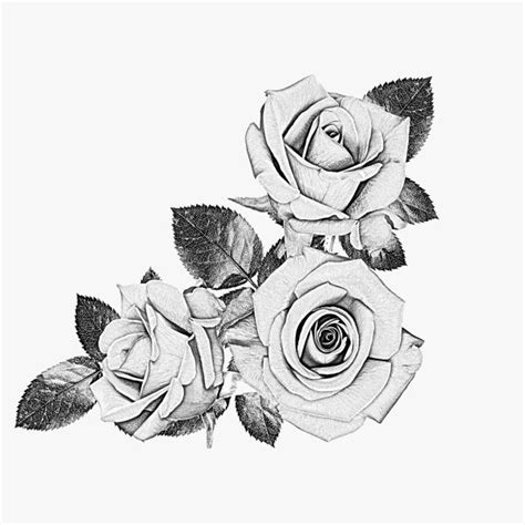 drawn rose black and white pencil and in color drawn