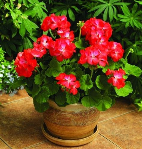 Pot Gantung Mawar gambar daftar jenis tanaman hias berbunga populer flora