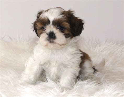 shih tzu puppies for sale in surrey beautiful tri coloured shih tzu puppies for sale leatherhead surrey pets4homes