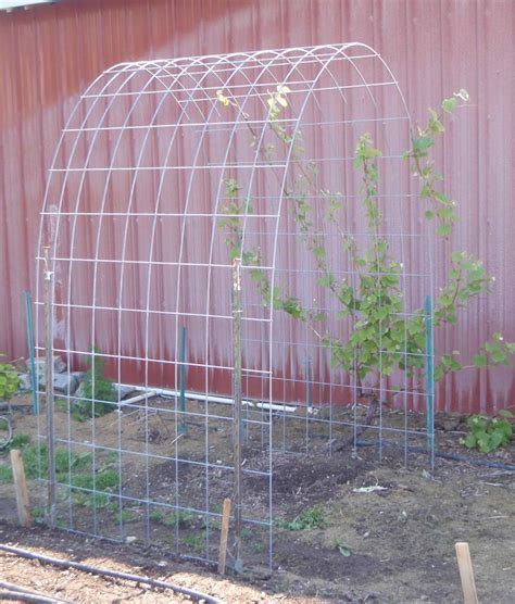 Grape Vines Trellis best 25 grape vine trellis ideas on grape