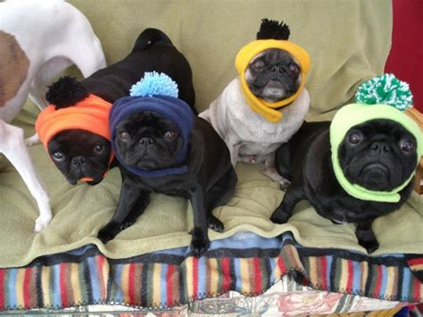 different colors of pugs 48 best images about cape may dogs in the wearing a hoodyyyy on pug
