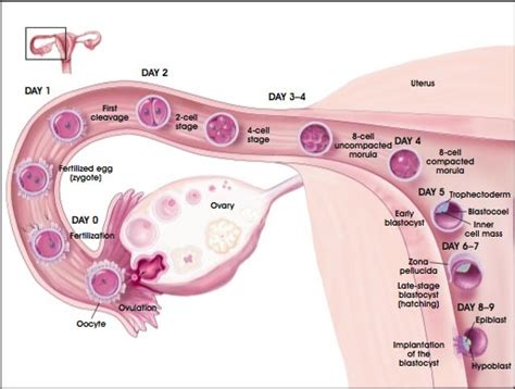 implantation diagram stages of fetal development nursing crib