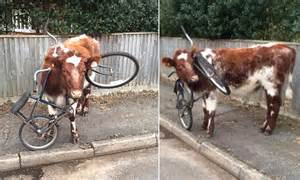 head wedged   bicycle frame