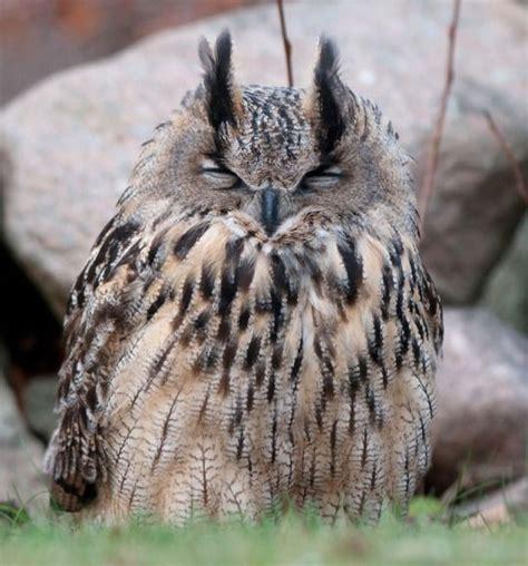 Sleepy Owl sleepy owl owls owl bird and animal