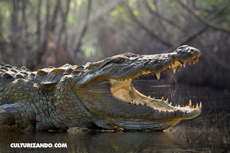 hocico de cocodrilo en cartulina 20 datos curiosos sobre los cocodrilos
