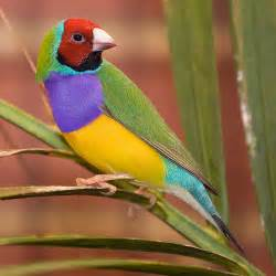 colorful bird the gouldian finch beautiful bird the wildlife