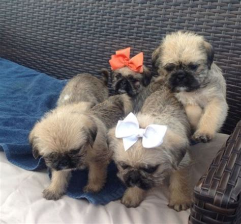shih tzu cross pug puppies for sale pug cross shih tzu puppy s for sale esher surrey pets4homes