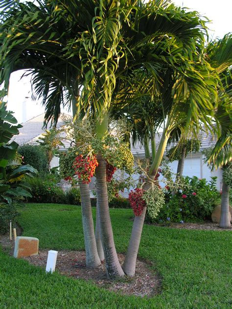 christmas palm tree veitchia merrillii rachael edwards
