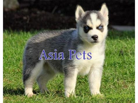 pomeranian puppies for free adoption in delhi images of pomeranian in india puppy for sale delhi breeds picture