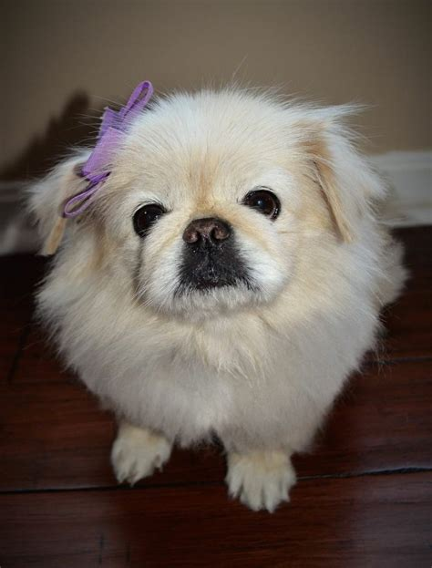 pekingese puppies for adoption 17 best ideas about pekingese dogs on pekingese puppies types of dogs and