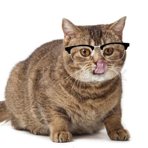 Katze Mit Brille 4157 katze mit brille britisch kurzhaarkatze auf einem wei en