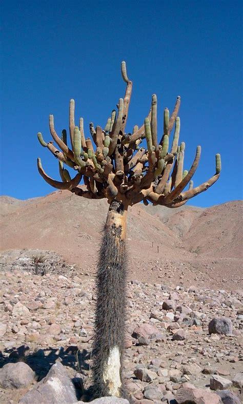 cactus candelabro chaparral 187 cactus candelabro