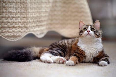 gatos en casa c 243 mo tener un gato en casa mis animales