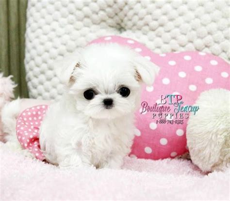 maltese puppies for sale in houston micro teacup maltese puppies for sale in michigan white teacup maltese