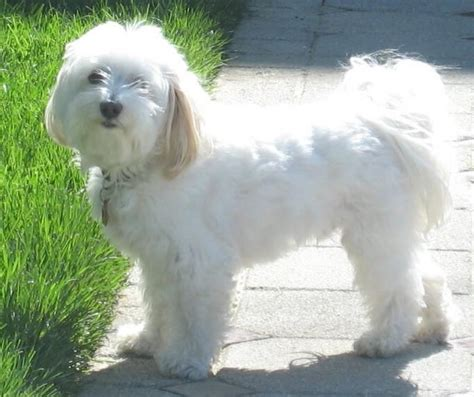 havanese puppies adelaide havanese breeders puppies and breed information just us dogs