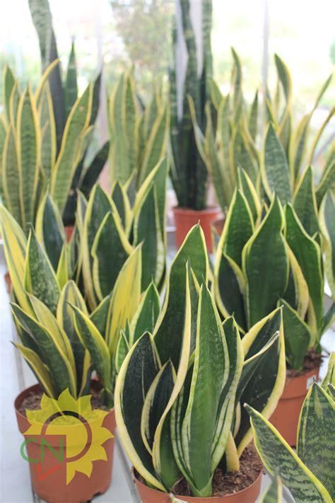 pianta da interno piante da interno casanatura vivaio
