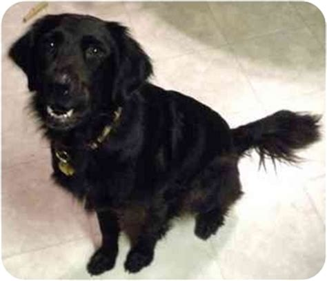 setter lab mix dog sybil adopted dog overland park ks irish setter
