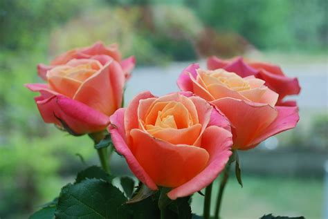rose s year of the rose best types of roses old farmer s almanac