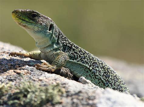 ocellated lizard wikipedia