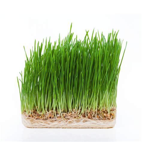 Wellness Wheat Grass health benefits of wheatgrass greenmylife anyone can garden