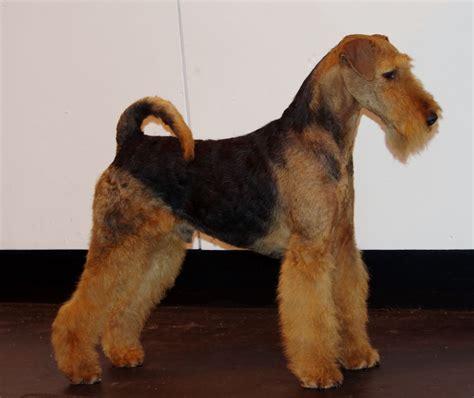 airedale terrier puppy airedale terrier puppy available burnley lancashire pets4homes