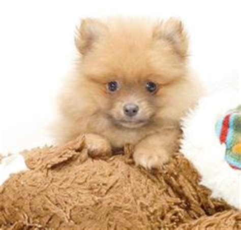 light brown pomeranian brown and white pomeranian puppy puppies and kittens white