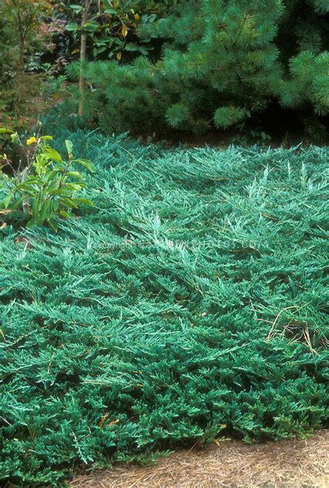 blue rug juniper seeds juniperus horizontalis wiltonii blue rug juniper groundcover ground cover evergreen conifer