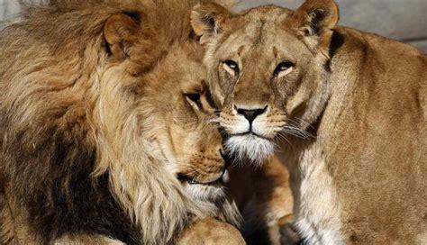 imagenes leones tiernas imagenes tiernas de leonas imagui