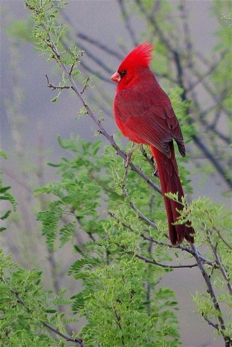 the cardinal which is virginia s state bird beautiful