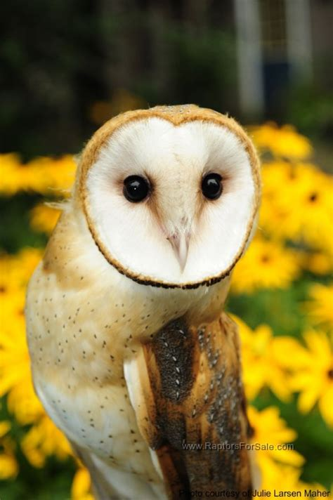 captive bred barn owls for sale