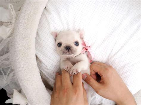 teacup bulldog puppies for sale in california 1000 ideas about miniature bulldog on mini bulldogs
