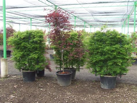 japanese maple pao horticultural