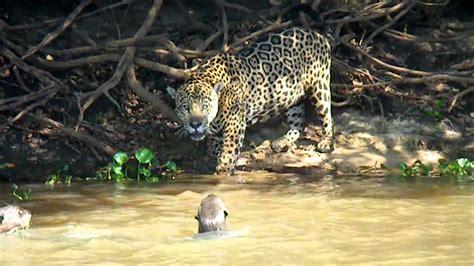 jaguar  pantanal fight youtube