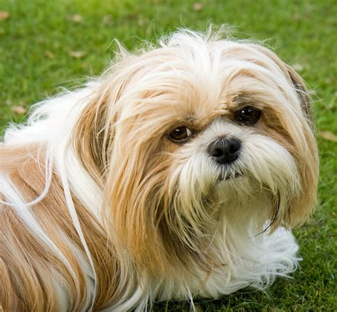 shih tzu small breeds 15 breeds that will make you want a
