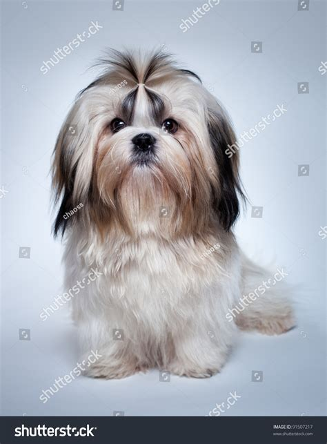 when does a shih tzu puppy become a shih tzu on grey background stock photo 91507217