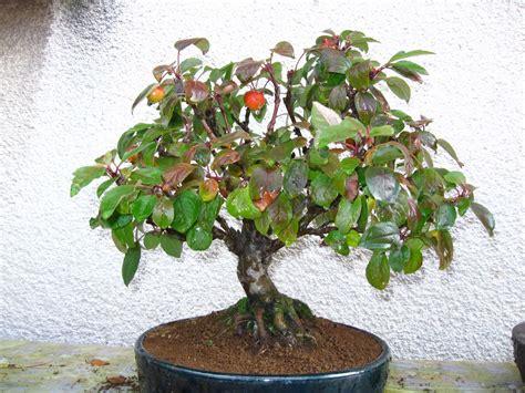 7 fruit tree 7 mini apple malus halliana fruit tree bonsai seeds