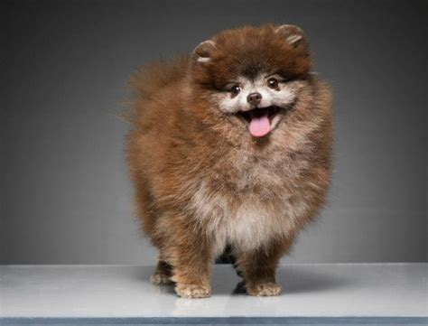 pomeranian brown brown teacup pomeranian