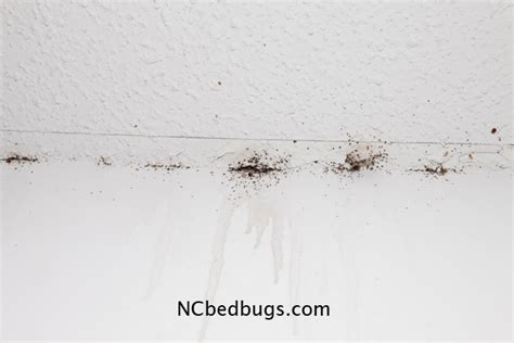 Bed Bugs On Ceiling by Dr Bed Bug Free Education Material On Bed Bugs Cimex