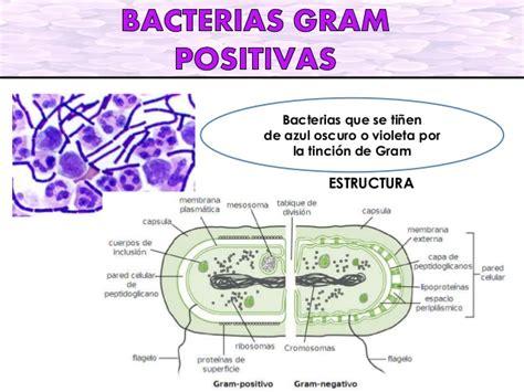 imagenes gram positivos bacterias gram positivas