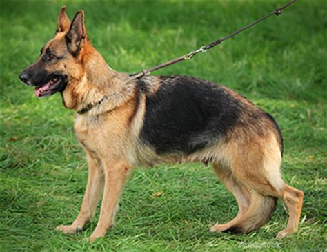anaplasma in dogs ehrlichiosis in dogs