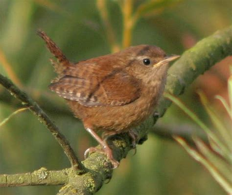 srg gallery wrens accentors
