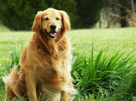 golden retrievers utah golden retrievers could become utah s state pet government and politics